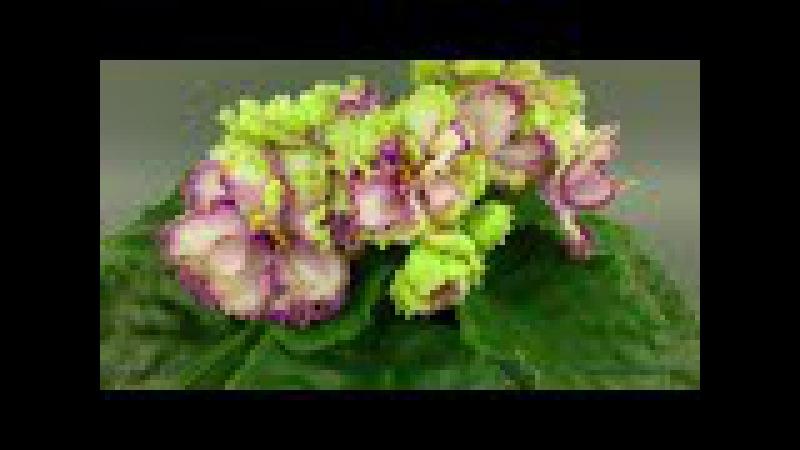 Бело-розово-зеленая фиалка - АВ-Венский Штрудель