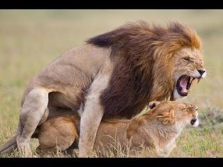 Африканские животные - Лев Спаривание, Дикие животные