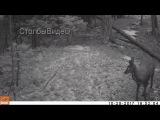 Соболь охотится на кабаргу под Красноярском
