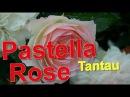 Pastella Rose Tantau
