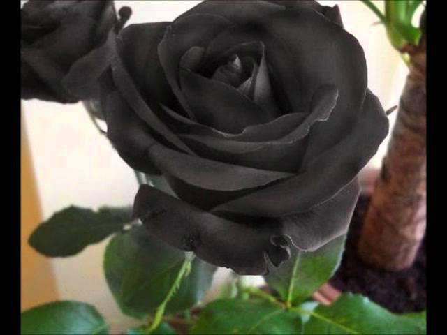 Tremolo - Rosas Negras (Subtitles in english)