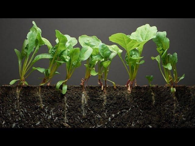 40 дней из жизни шпината за 2,5 минуты