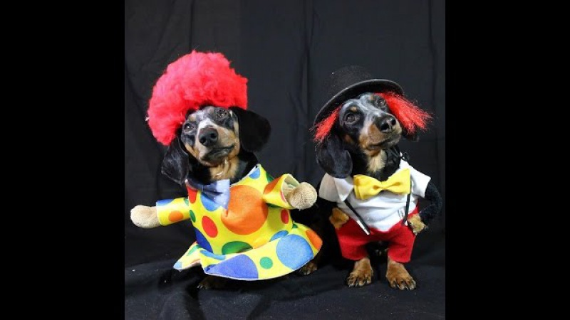 Crusoe Oakley Dachshund Are the 'Cuteness Clowns' for Halloween