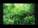 Chapéu de Napoleão conheça esta planta mais ATENÇÃO seus frutos são tóxicos não o consuma