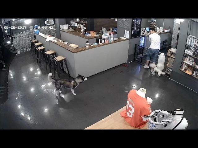 [혐주의] 애견카페 CCTV 원본 - 비숑푸리제(두리)를 물어 죽이는 시베리안 허스키 -