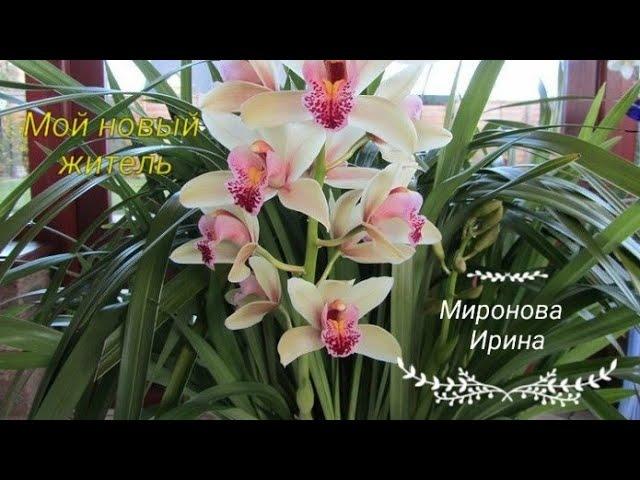 Орхидеи.Цимбидиум купленный по уценки в Кастораме.