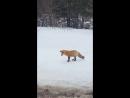 Лиса на мышиной охоте