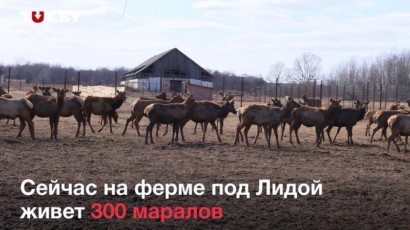 Как в умирающей деревне мужики разводят алтайских маралов