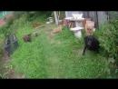 утки и люся кушают траву