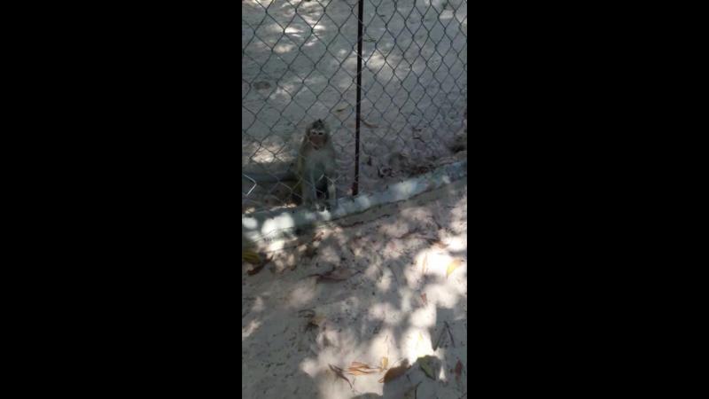 обезьяна воровка