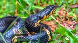 Змея трещит хвостом и кусает (The snake rattling its tail and bites)