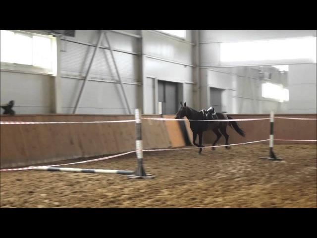 Akhal-teke stallion Shahin/Ахалтекинский жеребец Шахин
