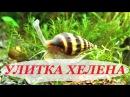 Улитка Хелена хищник, чем кормить, размножение, содержание, улитки в аквариуме. (Anentome Helena).
