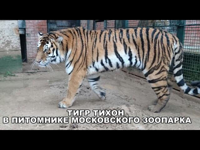 ТИГР ТИХОН В ПИТОМНИКЕ МОСКОВСКОГО ЗООПАРКА