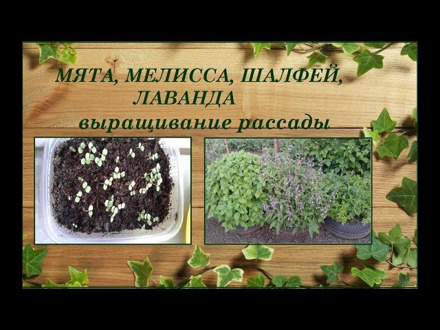 Мята, мелисса, шалфей, лаванда - выращивание из семян