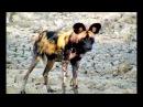 Африканские (гиеновые) дикие собаки не едят падаль и не боятся людей. У водопоя Нкорно, Южная Африка. 16.02.2018