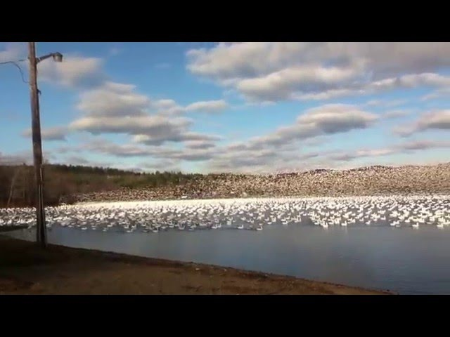 Watch Listen to 10,000 Snow Geese Taking Off Together!!