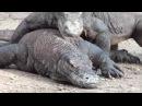 Комодский варан убивает змей