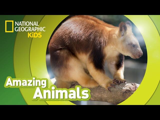 Tree Kangaroo | AMAZING ANIMALS