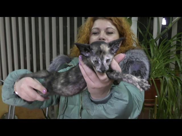 Прием в проф. клубах кошек PCA 27.01.2018г