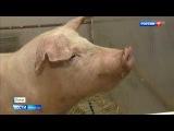 Есть хирургический робот!Свинья Роза отрыла новую страницу российской медицине_11-03-18