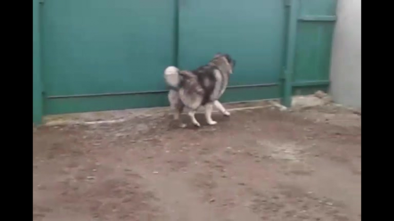 кавказька вівчарка охрана