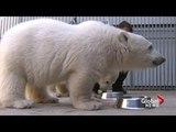 Polar bears eat dumplings for good luck on Chinese New Year