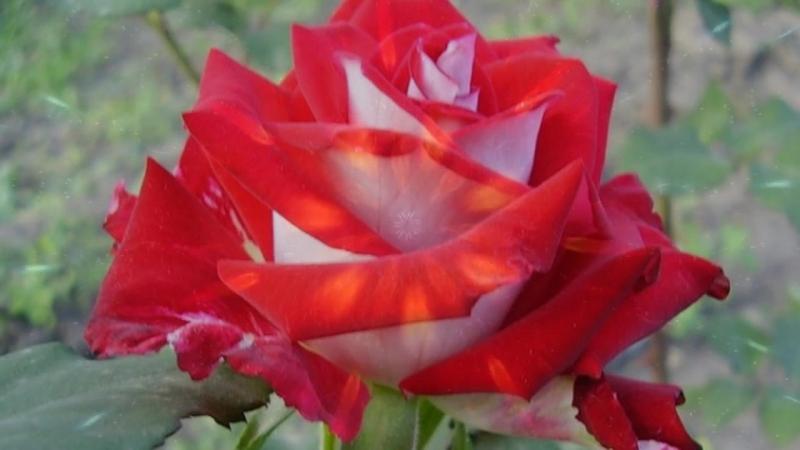 Дикие розы Олег Пахомов