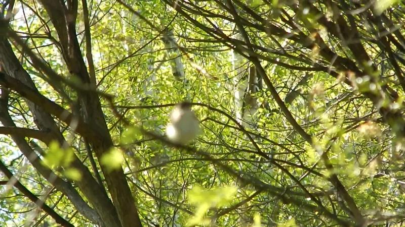 Пёстрая мухоловка поёт.
