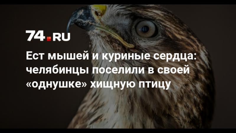 Челябинская семья завела хищную птицу в «однушке»