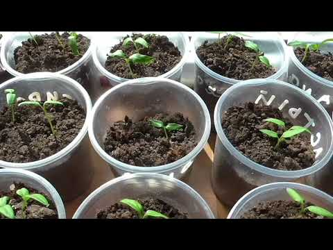 Росточек перца появился через две недели после посева