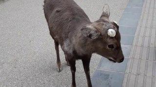 Нара. ЯПОНИЯ. Олень со всем согласен.Nara. JAPAN. Deer agrees with everything.奈良。日本。ディアはすべてに同意します。