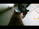 2018-04-22 10-17-51.Мои кот Колобочек и кошечка Алиса кушают свой любимый Вискас .