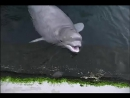 Tiqa the baby beluga plays with an American Dipper