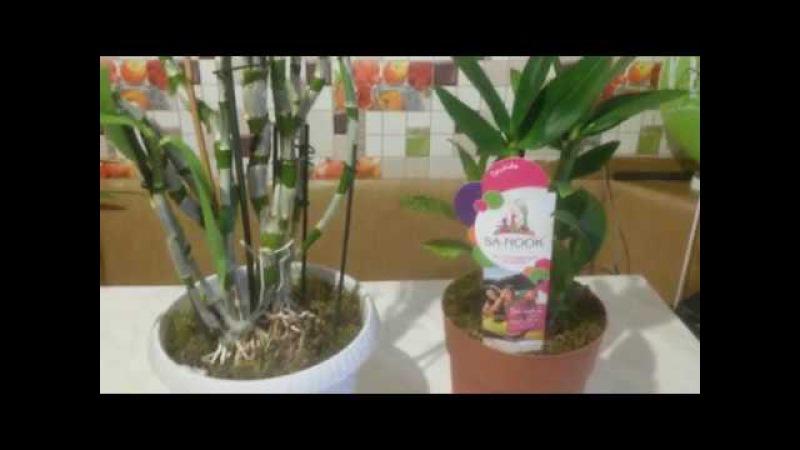 Новые орхидеи!Дендробиумы Нобиле и Фаленопсис!)