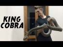 Oracle the huge King Cobra
