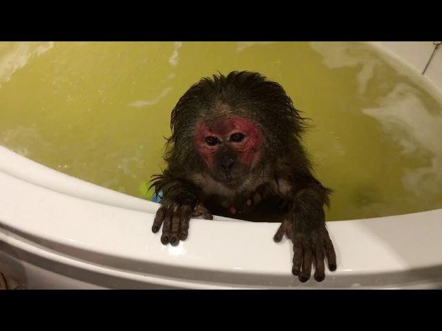 Банный день ( домашние обезьяны)