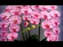 Вот как зацветет орхидея после 1 трюка mosshow