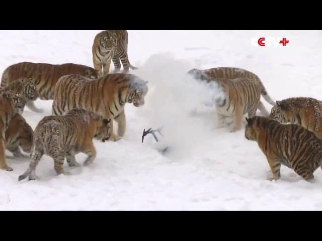 Амурские тигры съели дрон.