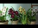 Орхидея Мильтония. Моё слайд-шоу. Подписка - Ванда, Мильтония, Фалинопсис, Камбрия, Цимбидиум.