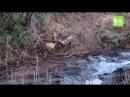 Бегемот спасает и убивает антилопу