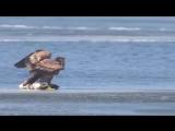 Орёл который на первый взгляд начал тонуть, но оказалось, что он так питается.      ?     ?     ?