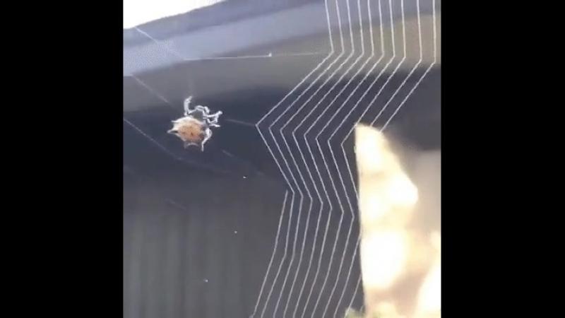 как паук вяжет паутину .mp4