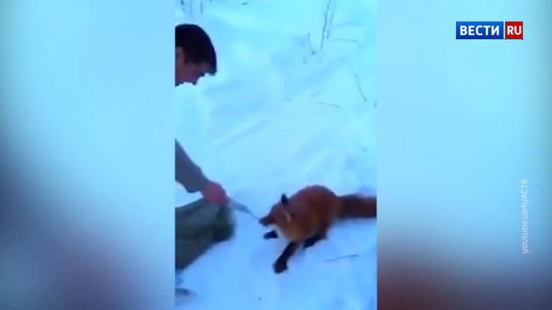 На Сахалине сняли забавное видео: лиса пытается украсть мешок с рыбой