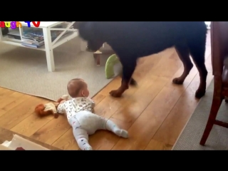 Top 10 Best Of Cute RottWeiler And Babies Playing Videos Compilation - Funny Dog