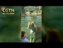 Тигр Майк из зоопарка американского города Батон Руж устроил охоту на посетителей