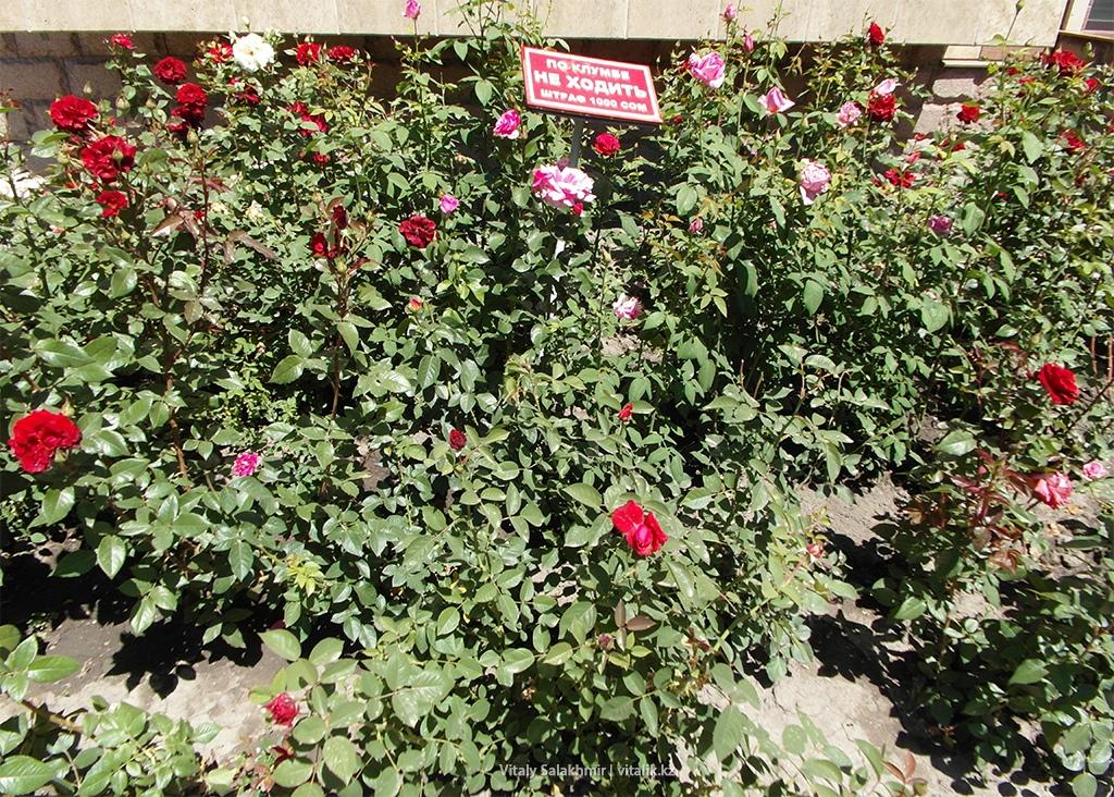 Клумба с розами, Бишкек