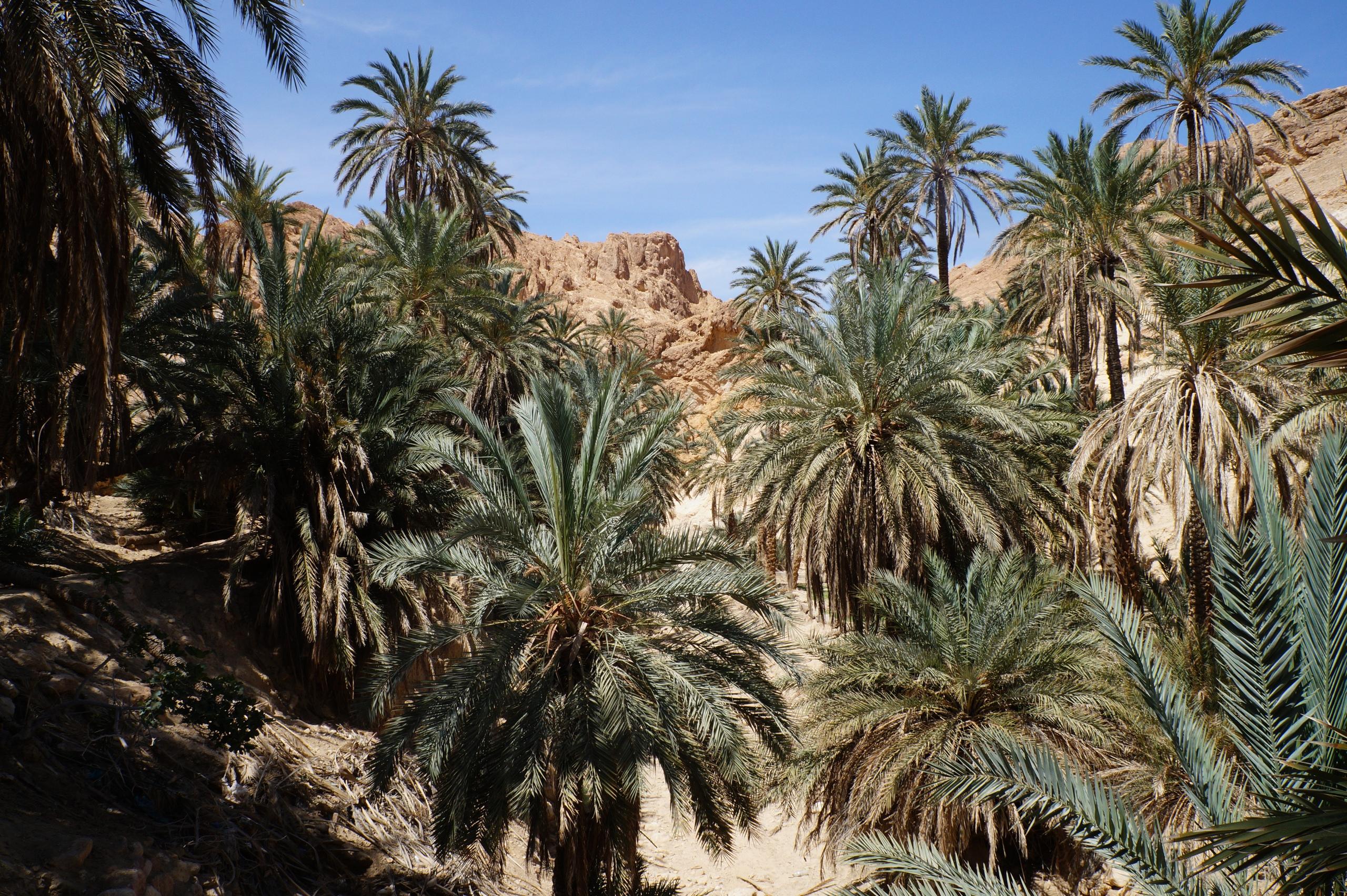 Самый красивый оазис в Сахаре Шебика, Оазис, Место, небольшой, можно, оазиса, Туниса, территории, среди, пустыни, благодаря, истоки, сувенирами, действительно, пальм, живности, всякой, полно, заводи, Туристов