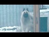 The dog that dances better than you! #coub