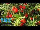 Тис / хвойные растения